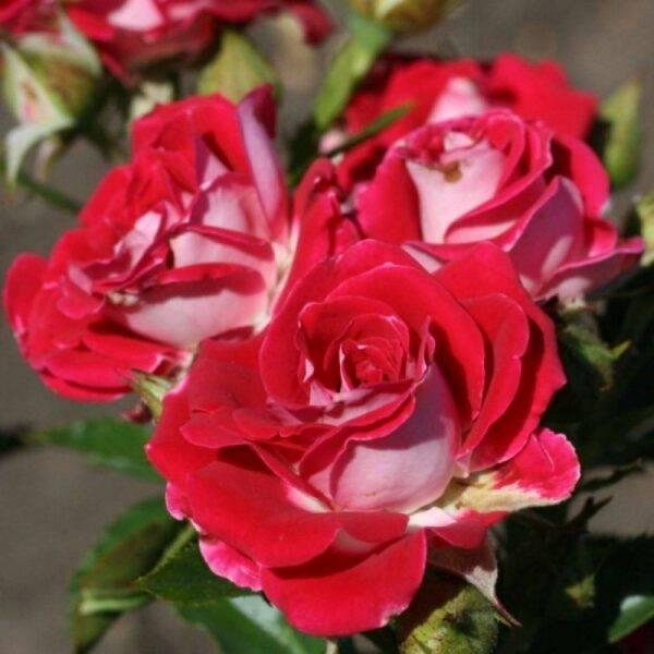 Роза спрей Руби Стар продажа саженцев в Крыму