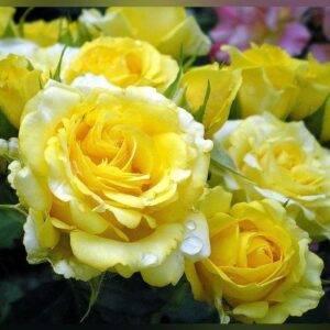 Роза спрей Сан Сити цена саженцев в Крыму