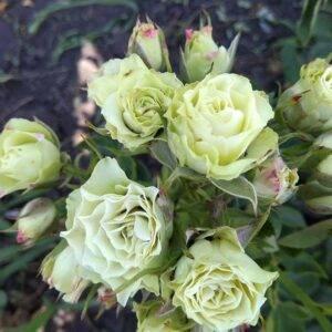 Роза спрей Уайт Лидия продажа саженцев в Крыму
