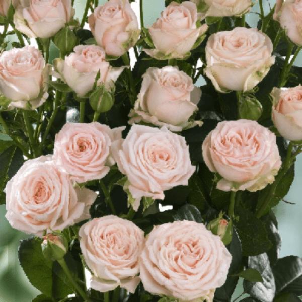 Роза спрей Яна купить саженцы недорого в Крыму