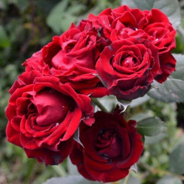 Роза Таманго купить саженцы в Крыму недорого
