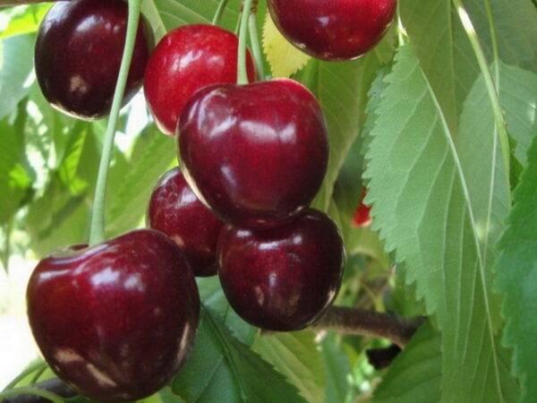 Саженцы Чудо вишни купить по выгодной цене в Крыму, доставка по России