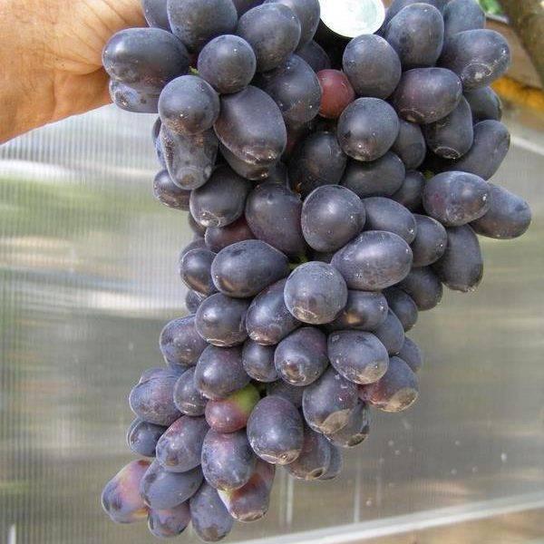 Виноград Ахиллес купить саженцы в Крыму цена