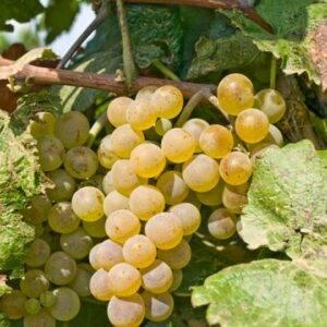 Виноград Алиготе купить в Крыму саженцы недорого