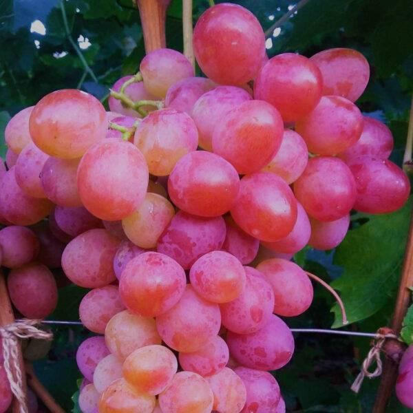 Виноград Анюта купить саженцы в Крыму
