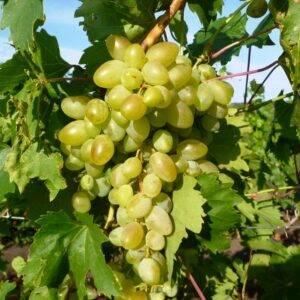 Виноград Аркадия купить в Крыму недорого