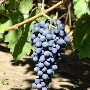 Виноград Аттика купить саженцы в Крыму недорого