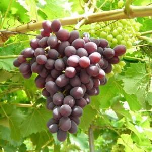 Виноград Багровый купить саженцы в Крыму