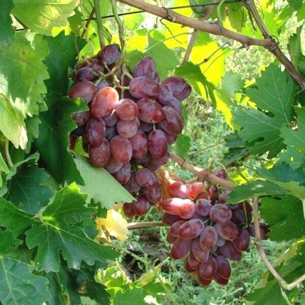 Виноград Былина купить саженцы в Крыму