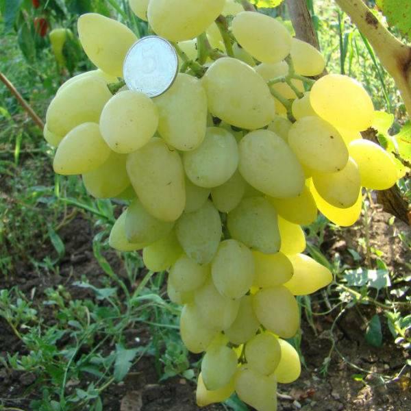 Виноград Долгожданный купить саженцы цена Крым