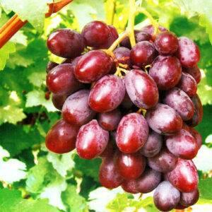 Виноград Фавор купить в Крыму саженцы винограда цена