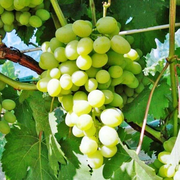Виноград Галахад саженцы продажа в Крыму цена недорого