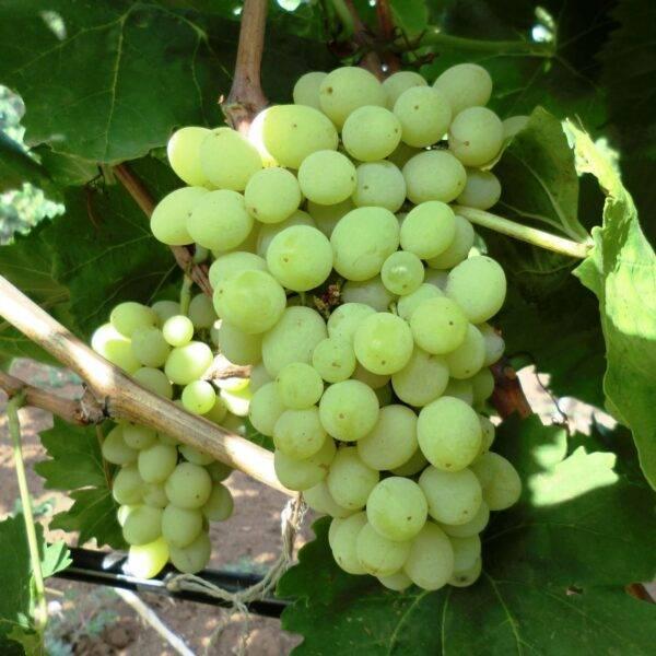 Виноград Гарольд купить саженцы винограда в Крыму
