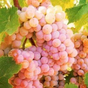 Виноград Гурзуфский розовый купить в Крыму саженцы винограда
