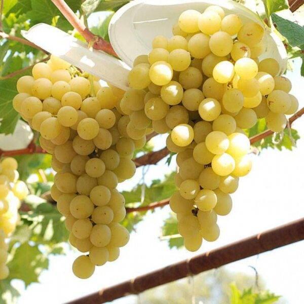 Виноград Италия купить саженцы винограда Крым