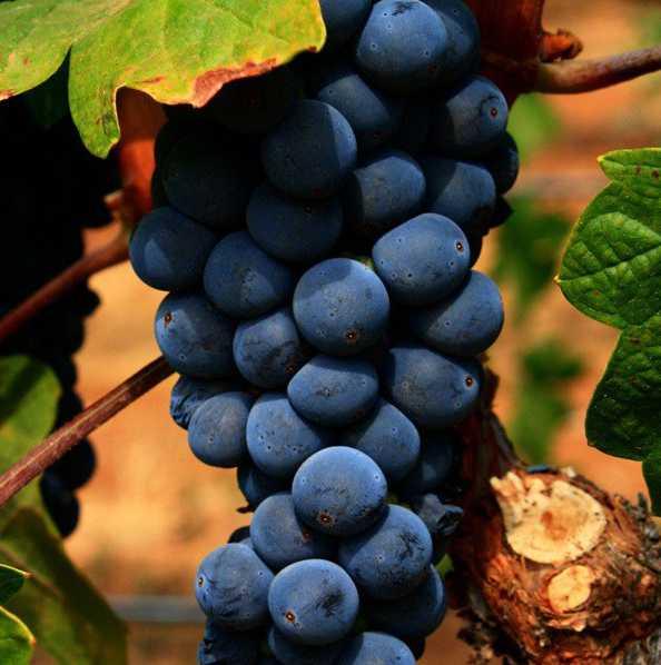 Виноград Изабелла купить саженцы в Крыму недорого