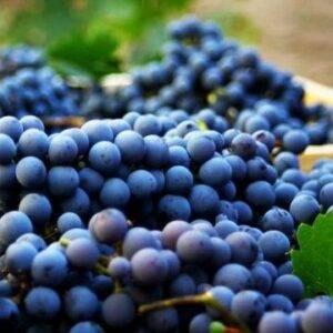 Виноград Каберне Совиньон купить саженцы в Крыму недорого
