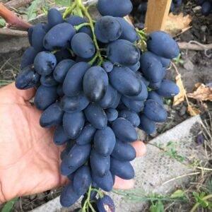 Виноград Кармен купить саженцы винограда недорого Крым