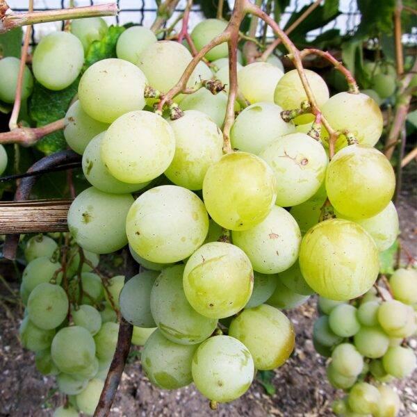 Виноград Кеша купить саженцы в Крыму