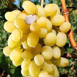 Виноград Ландыш купить саженцы сорта винограда Ландыш в Крыму