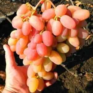 Виноград Легенда Аксая купить саженцы в Крыму