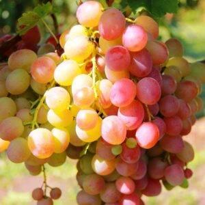 Виноград Ливия купить саженцы в Крыму недорого
