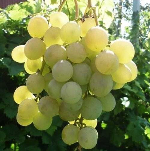 Виноград Лучезарный купить саженцы в Крыму