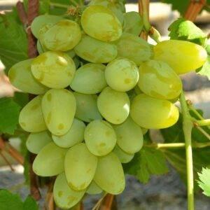 Виноград Монарх купить саженцы в Крыму недорого