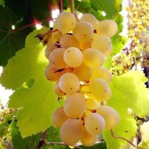 Виноград Мускат Ливадия купить саженцы в Крыму недорого