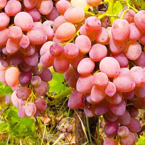 Виноград Мускат Розовый купить саженцы в Крыму недорого
