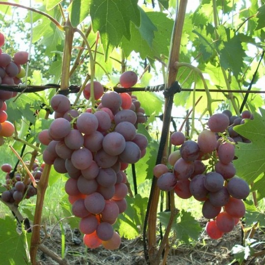 Виноград Низина купить саженцы цена Крым