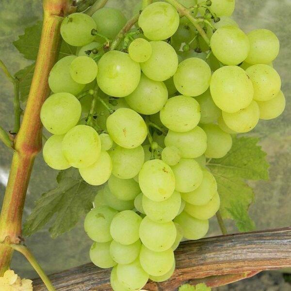 Виноград Плевен купить саженцы в Крыму