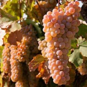 Виноград Ркацители купить саженцы в Крыму недорого