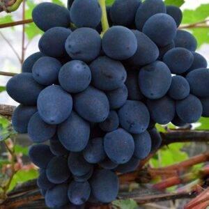 Виноград Сфинкс купить саженцы винограда в Крыму