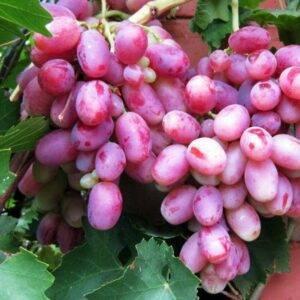 Виноград Шахиня Ирана купить в Крыму недорого саженцы винограда