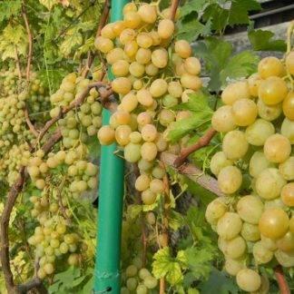 Виноград Смарагд купить саженцы в Крыму