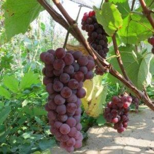 Виноград Сомерсед Сидлис купить саженцы в Крыму