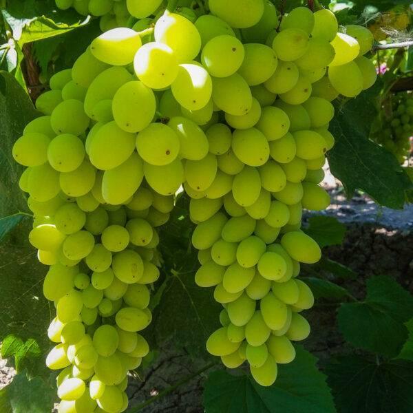 Виноград Столетие купить саженцы винограда в Крыму