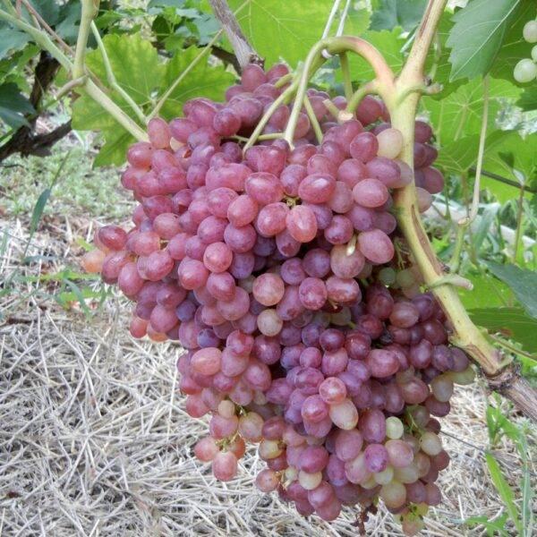 Виноград Велес продажа саженцев цена в Крыму