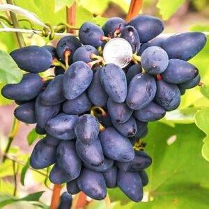 Виноград Викинг саженцы купить в Крыму цена