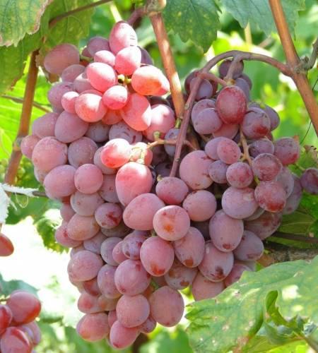 Виноград Виктория купить саженцы винограда в Крыму