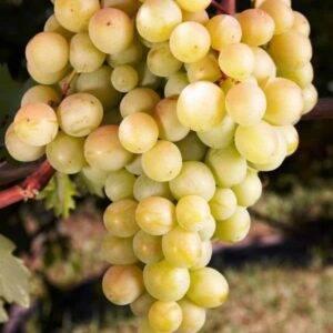 Виноград Восторг купить виноград саженцы недорого в Крыму
