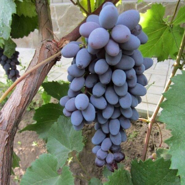Виноград Юпитер Сша купить саженцы в Крыму цена