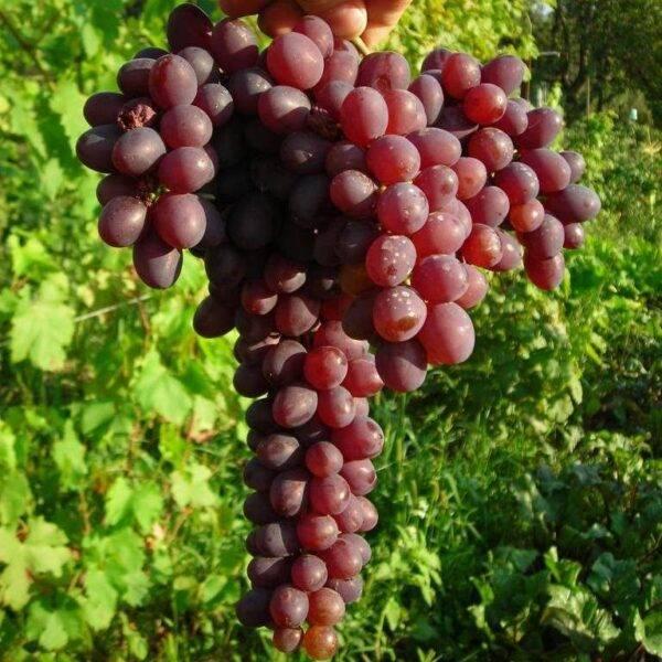 Виноград Запорожский купить саженцы в Крыму низкая цена