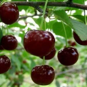 Вишня Шалунья купить саженцы вишни в Крыму, доставка по России