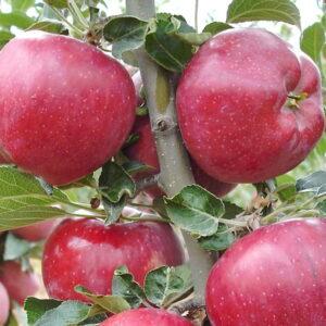 Яблоня Ред Чиф купить саженцы яблони в Крыму, цены в розницу и опт