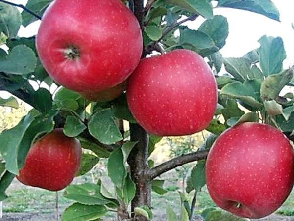 Яблоня Чемпион Рено саженцы оптом купить яблони в Крыму