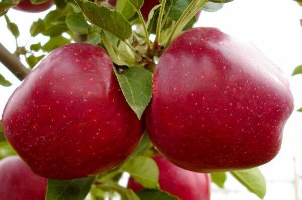 Яблоня Супер Чиф саженцы продаются оптом и в розницу, Крым