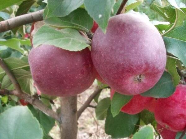 Яблоня Чадел купить саженцы яблони в Крыму, опт и розница