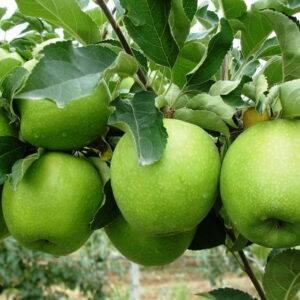 Яблоня Гренни Смит саженцы купить оптом в Крыму, яблони цены